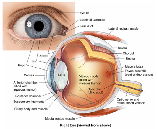 Communication hsc biology home 21 describe the anatomy and function of the human eye including the conjunctiva continuation of the epidermis of the skin this protects the cornea at ccuart Image collections